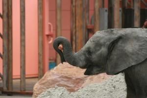 olifantentransport_safaripark