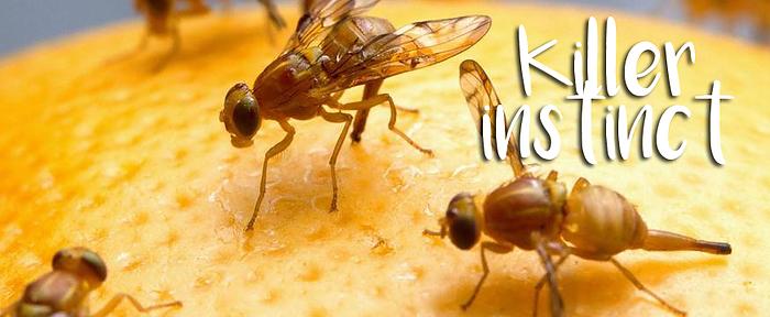 Fruitvliegjes veroorzaken bij mij moordlustige neigingen for Fruitvliegjes in keuken