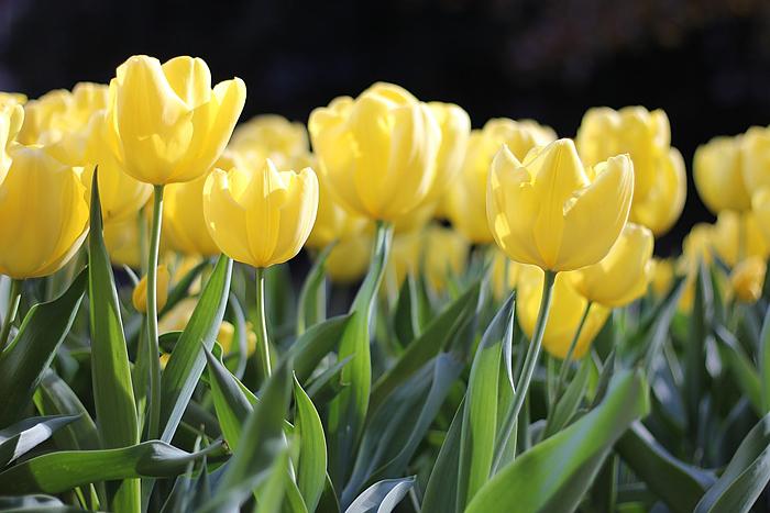 tulpen in geel