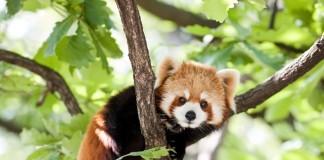 GaiaZOO rode panda