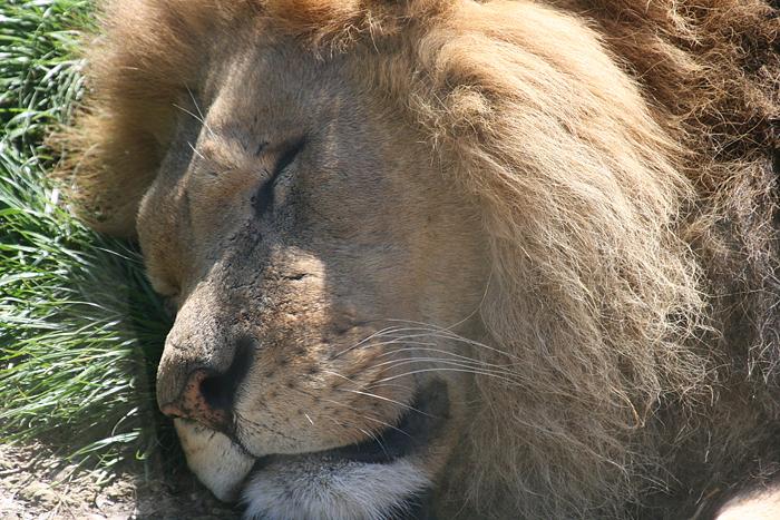gaiazoo leeuw