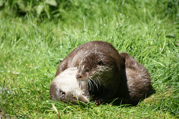 gaiazoo otters