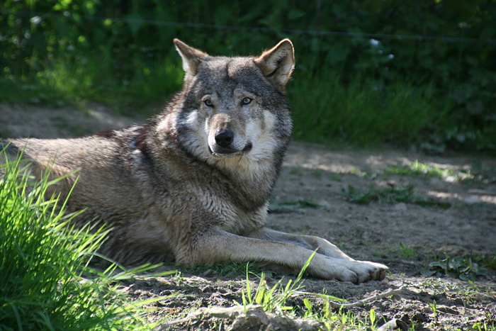 gaiazoo wolf