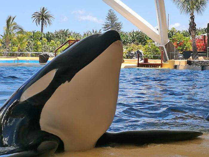 tenerife met kinderen orka's in loro parque