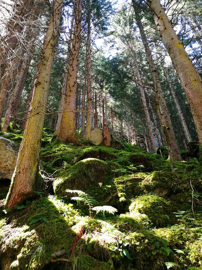 Krimml watervallen, het bos