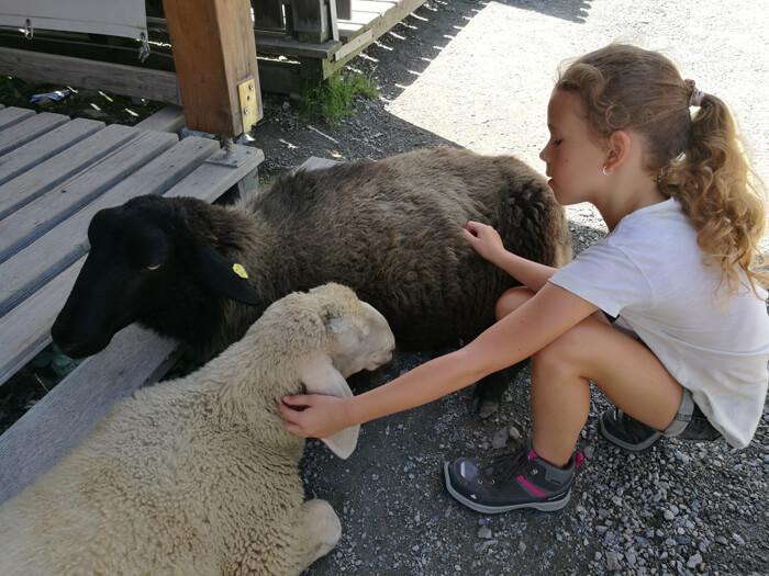 baumzipfelweg loslopende schapen