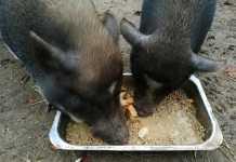 charme offensief bij de varkens