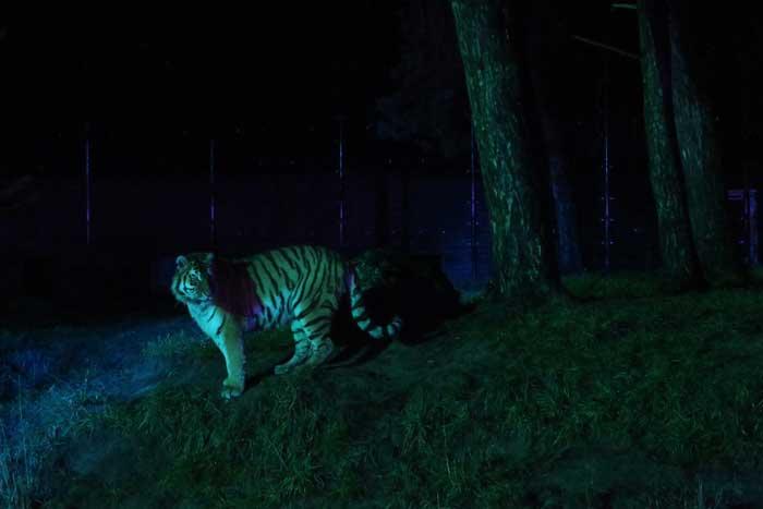 winterdroom beekse bergen tijger