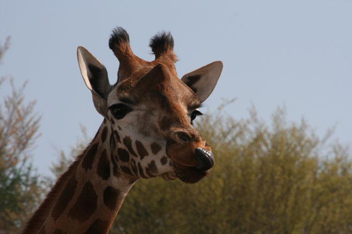 giraffe safari resort beekse bergen