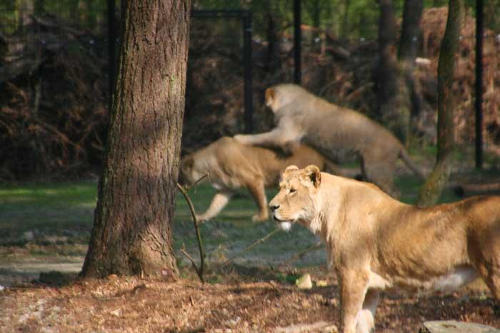 safari resort beekse bergen leeuwenvlakte