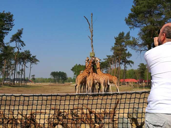 safari resort giraffe vanaf terras