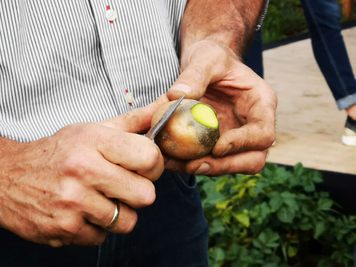 groene aardappel gifitg
