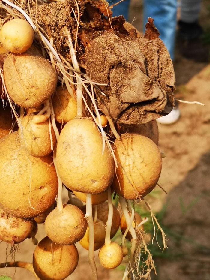 hoe groeit aardappel