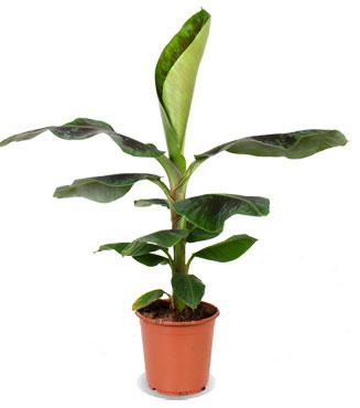 bananenplant niet giftig voor katten