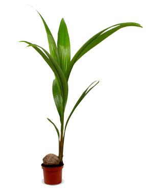 kokospalm niet giftig voor katten