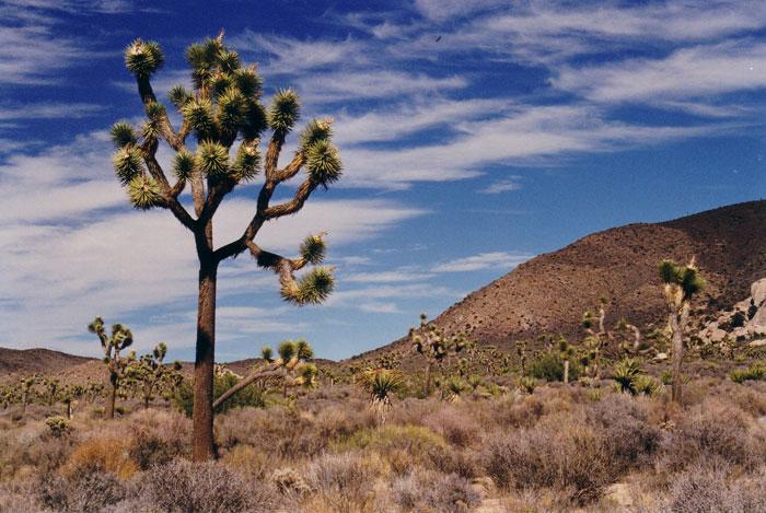 Yoshua Tree in Amerika,een mooie plek!