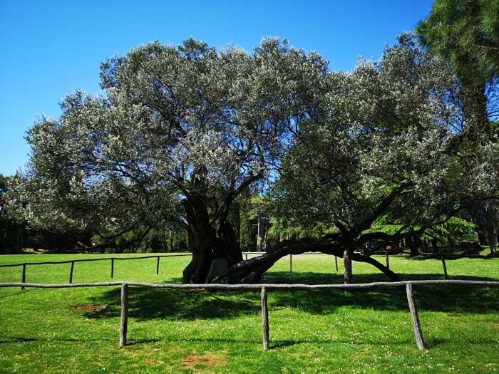 Brijuni National Park, Olive tree