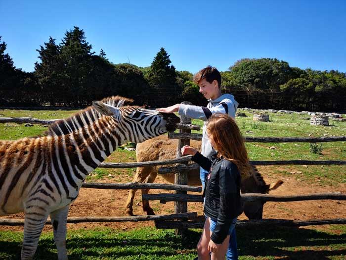 zebra aaien