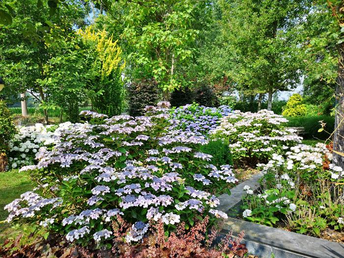 jardin sauvage met hortensias