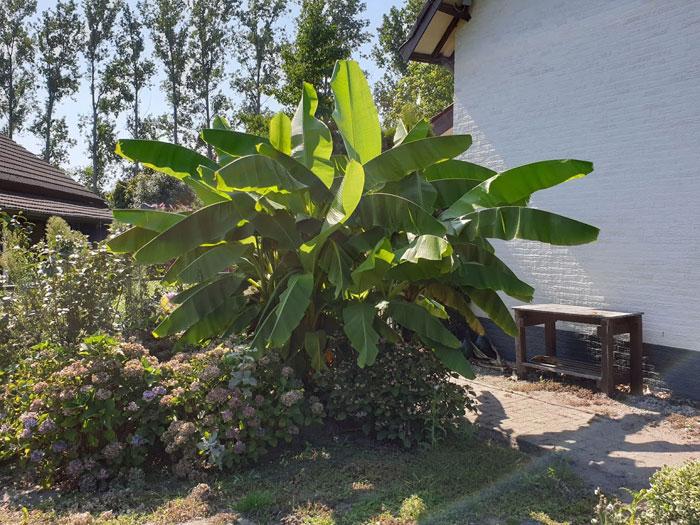 winterklaar maken bananenplant in de tuin