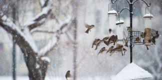 Vogels voeren winter