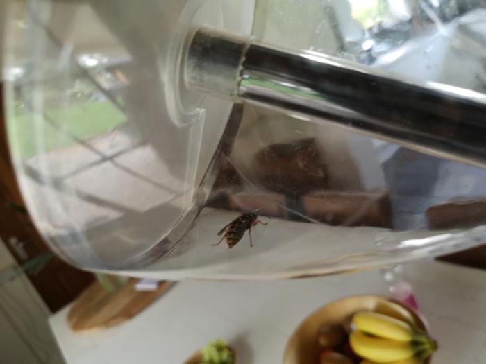 spinnenvanger vangt ook een wesp met gemak