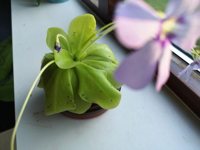 vleesetende plantjes tegen rouwvliegjes